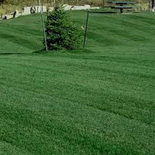 Image result for kentucky bluegrass
