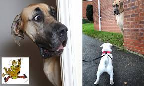 It's the real-life <b>Scooby Doo</b>! Six-foot <b>Great Dane</b> Presley weighs ...