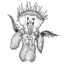 Galeopsis bifida (split-lipped hemp-nettle): Go Botany