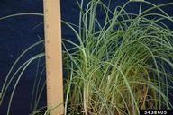wild garlic: Allium vineale (Asparagales: Amaryllidaceae): Invasive ...