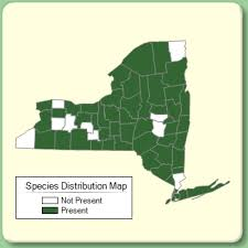 Agrostis perennans - Species Page - NYFA: New York Flora Atlas