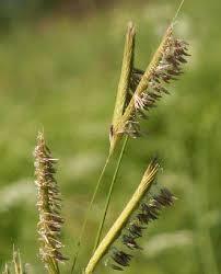 Spartina pectinata - Online Virtual Flora of Wisconsin