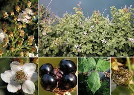 Rubus canescens DC. - Sistema informativo sulla flora vascolare dei ...