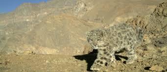 7 Essential Facts About <b>Snow</b> Leopard Cubs - <b>Snow</b> Leopard Trust