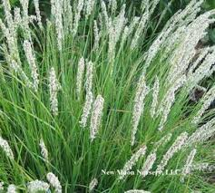 Sesleria autumnalis Autumn Moor Grass from New Moon Nurseries