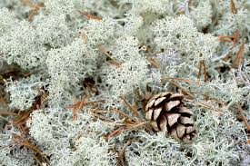 Image result for reindeer moss in landscaping