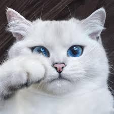 ผลการค้นหารูปภาพสำหรับ ภาพแมวน่ารักขนขาว