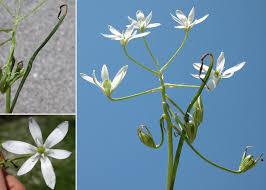 Ornithogalum divergens Boreau - Sistema informativo sulla flora ...