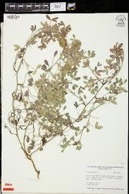 SEINet Portal Network - Trifolium diffusum