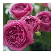 Холст 50x50 <b>Розовые розы</b> #2671977 от d_ari.design@mail.ru
