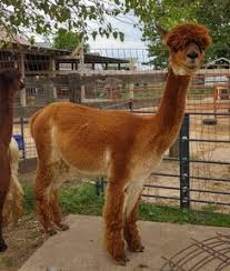 Alpacas For Sale: ROH of Sleepy <b>Hollow</b>: Huacaya, Female, Proven ...
