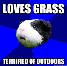 loves grass terrified of outdoors - Jumpy Guinea Pig - quickmeme via Relatably.com