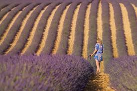 Provence Lavender, Where + When to Visit for <b>Lavender Fields</b> in ...