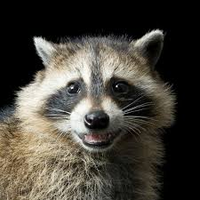 <b>Raccoon</b> | National Geographic