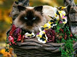 Resultado de imagem para gatinho siamês