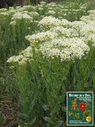 Whitetop Hoary Cress (Lepidium draba / Cardaria draba) Weed ...