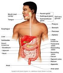 organs of digestion in order digestive system overview anatomy organs of digestion in order digestive system overview anatomy physiology