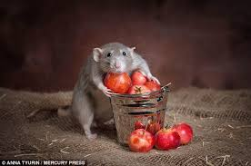 Image result for beautiful rats