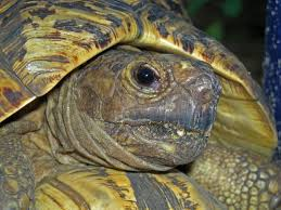"Image result for ""tortoise eye"""
