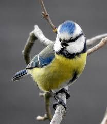 """Résultat de recherche d'images pour """"mésanges bleues"""""""