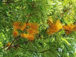 Grevillea robusta - Wikipedia