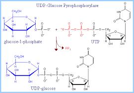 """Résultat de recherche d'images pour """"uridine diphosphate glucose"""""""