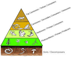 classification variation food webs and pyramids secondary food pyramids