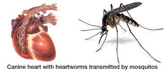 Image result for heartworm