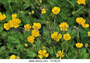 Images & Illustrations of creeping crowfoot