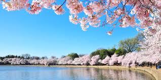Cherry <b>Blossoms</b> Around the World