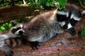 Image result for raccoon baby pictures