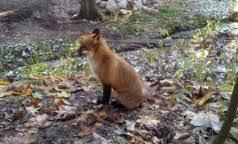 <b>Голодная лиса</b> — здоровая лиса. Петербуржцам посоветовали ...