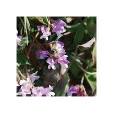 LATHYRUS LAXIFLORUS SEEDS - Plant World Seeds