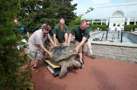 toledo zoo tortoise emerson moves to his new digs the blade