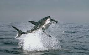 ideas about shark eating seal ocean life 1000 ideas about shark eating seal ocean life water animals and whales