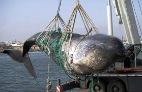 Chasse à la baleine : une ONG se tourne vers la Cour suprême des Etats-Unis  Images?q=tbn:ANd9GcTCBDs_vR9yuFnlbtN0cVoNzXufI9ZICr26RIgTO7h-n1rVi41uGw