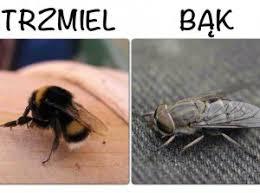 Znalezione obrazy dla zapytania bąk -owad