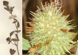 Trifolium echinatum M.Bieb. - Portale sulla flora delle Saline di Cervia