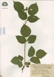 SEINet Portal Network - Rubus nessensis