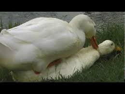 Resultado de imagem para patos
