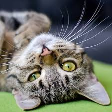 4 Tips for Your <b>Lazy Cat</b> | PetTrax