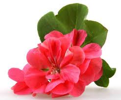 Image result for benefits of geranium oil on skin
