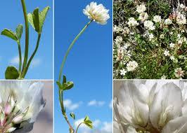 Trifolium thalii Vill. - Portale alla flora del Parco Nazionale Dolomiti ...