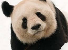 Adopt a <b>Panda</b> | <b>WWF</b>