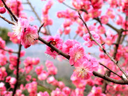 National <b>Flower</b> of the Republic of China - Wikipedia