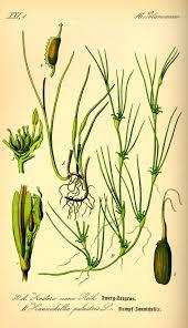 Zostera noltii - Wikipedia