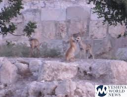 שועלים הלכו בו: Dozens Of Foxes Seen Early Morning Near Kosel ...