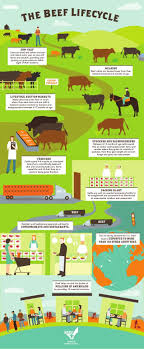 best images about multimodal essay info graphics the beef lifecycle infographic by beeffacts genex is part of the beef lifecycle providing cattle