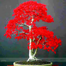 100 true japanese red maple bonsai tree cheap seeds professional pack 20 seeds bought bonsai tree