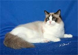 bordeaux ragdoll kittens the picture below is bailey s brother by grand champion suzie q and grand champion risky bizness wizard lives in joyce